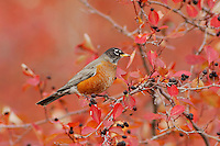 American Robin, Turdus migratorius, male eating berries of Black Hawthorn (Crataegus douglasii) fallcolors snow, Grand Teton NP,Wyoming, September 2005