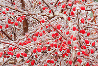 Barberry berry - fruit, ice berries in winter iced snow frost