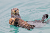 Alaskan or Northern Sea Otter (Enhydra lutris) mom holding/carrying her very young pup.  While pups at this age float quite well, they haven't learned the coordination or have the strength to swim very far so mom hauls them around much of the time.  Alaska.
