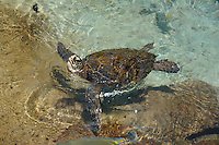 A green sea turtle (or honu) takes a breath and peers at the viewer, O'ahu.