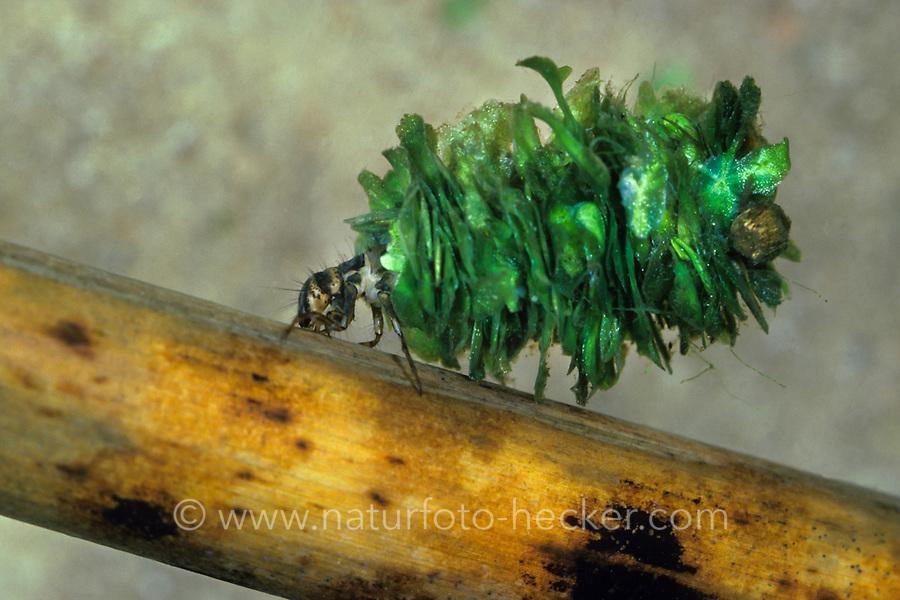 Köcherfliege, Larve in ihrem Köcher aus Pflanzenteilchen, Limnephilus flavicornis, Köcherfliegen, caddisfly, larva, sedge-fly, rail-fly, caddisflies, sedge-flies, rail-flies, Trichoptera