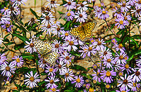 Butterflies on wildflowers