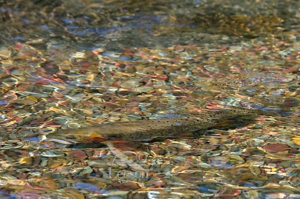 Cutthroat Trout (Oncorhynchus clarkii) in spawning stream.  Montana.  July.