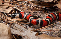 California Mountain Kingsnake - Lampropeltis zonata - The epic and elusive Mountain King.