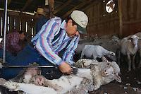 Domestic Sheep, shearing  Sheep, Hill Country, Texas, USA, April 2007