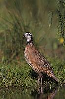 Northern Bobwhite, Colinus virginianus, male drinking, Lake Corpus Christi, Texas, USA