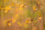 Silver Birch (Betula pendula) and autumn colours. Loch Aigas. Aigas Field Centre, near Inverness, Scotland. October