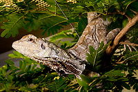 frilled dragon, family: AGAMIDAE, Chlamydosqurus kingii, (c)