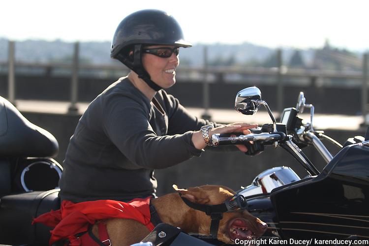 Brande Schweitzer and her pit bull mix, Lucy, from Seattle, ride through Seattle on their motorcycle on July 27, 2014.