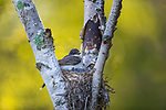Nesting eastern kingbird in northern Wisconsin.