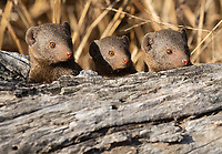 My favorite mongoose species is the dwarf mongoose, and we saw loads of them in Kruger and at MalaMala.<br /> <br /> Photo © Jennifer Waugh