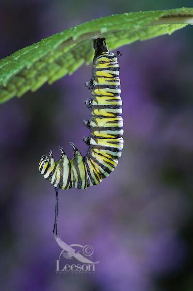 MONARCH BUTTERFLY life cycle..Fifth instar on Joe-Pye Weed leaf..North America. (Danaus plexippus)