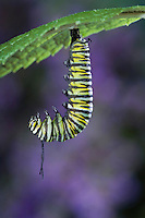 MONARCH BUTTERFLY life cycle..Fifth instar on Joe-Pye Weed leaf..North America. (Danaus plexippus)
