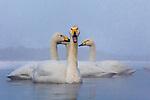 Japan, Hokkaido, whooper swan (Cygnus cygnus)