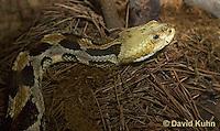 1211-1007  Timber Rattlesnake (Canebrake Rattlesnake), Crotalus horridus  © David Kuhn/Dwight Kuhn Photography
