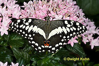 LE45-503z  Spotted Butterfly, Citrus Swallowtail Butterfly, Papilio demodocus, Africa