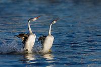 "Clark's Grebe (Aechmophorus clarkii) pair ""rushing"" or courtship dance.  Western U.S., May."
