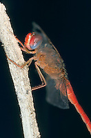 Südliche Heidelibelle, Männchen, Sympetrum meridionale, Southern Darter, male, Le Sympétrum méridional