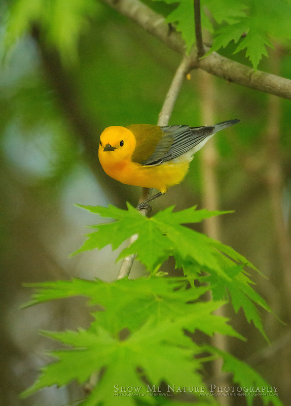 Prothonotary Warbler male, near the nest site