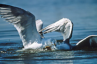 Herring Gulls, fighting in the water, Island Beach State Park, New Jersey