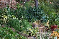 Aloe arborescens under Englemann oak by patio with Aeonium haworthia groundcover, Aeonium 'Sunburst' (lrg. rosettes) and Aeonium 'Kiwi' (sm. rosettes) in Debra Lee Baldwin Southern California backyard hillside garden