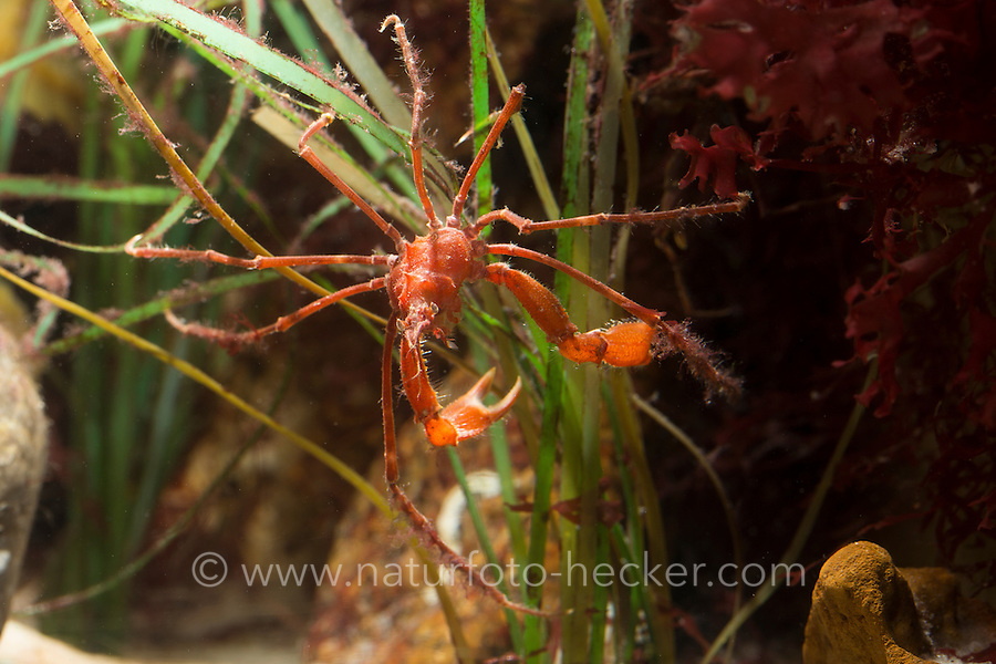 Gespensterkrabbe, Gespenster-Krabbe, Tarnung, Macropodia rostrata, Long legged spider crab, Long-legged spider crab, Common Spider Crab, camouflage
