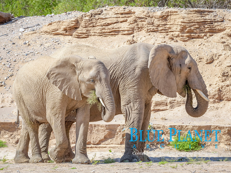 Desert elephants (Loxodonta africana), eating in dry Hoanib river valley, Kaokoveld, Namibia, Africa