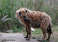 0213-08uu  Spotted Hyena, Laughing Hyena, Crocuta crocuta © David Kuhn/Dwight Kuhn Photography