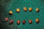 Asian lady beetles Predatory Lady bug beetles