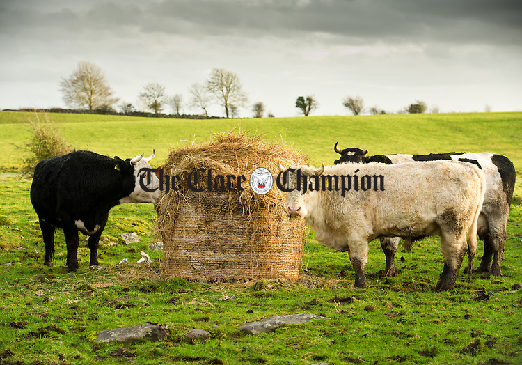 Cattle feed on a bale of hay in a field near Tubber. Photograph by John Kelly
