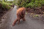 Bornean Orangutan (Pongo pygmaeus wurmbii) - mother and child along the walkway in Camp Leakey.