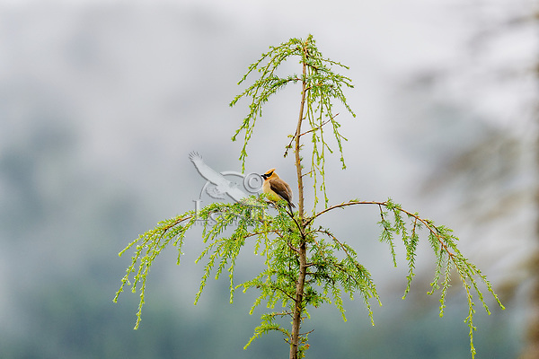 Cedar Waxwing (Bombycilla cedrorum) sitting in young hemlock tree.  Olympic National Forest, WA.  Summer.
