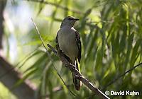 0914-0901  Northern Mockingbird, Mimus polyglottos © David Kuhn/Dwight Kuhn Photography