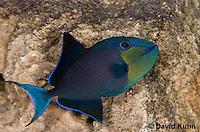 1103-0901  Niger triggerfish, Odonus niger  © David Kuhn/Dwight Kuhn Photography