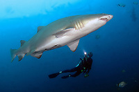 A diver swims with a Sand Tiger Shark (Carcharias taurus) on the wreck of the Caribsea, a freighter sunk during WWII by a German submarine, in the Outer Banks of North Carolina, USA, Atlantic Ocean