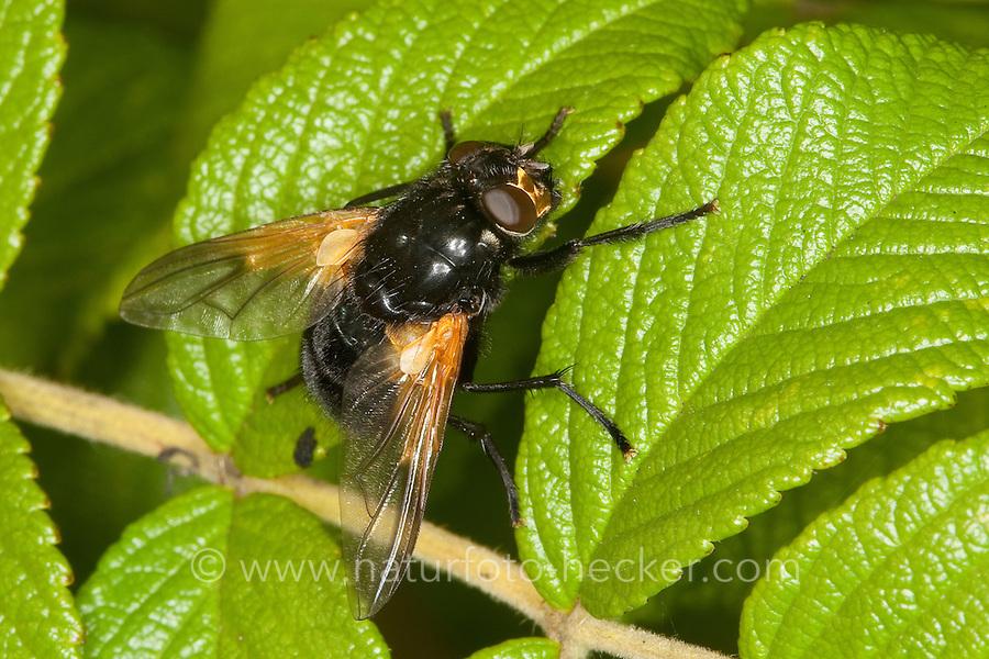 Rinderfliege, Rinderfliege, Mittags-Fliege, Mesembrina meridana, Musca meridiana, noon-fly, noonfly