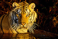 Bengal Tiger in pond.