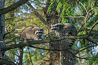 Raccoons (Procyon lotor) in hemlock tree.  Pacific Northwest.  Fall.