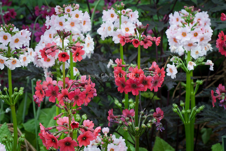 Primula japonica 'Millers Crimson' and 'Apple Blossom' in pink and red flowers planted together in spring bloom