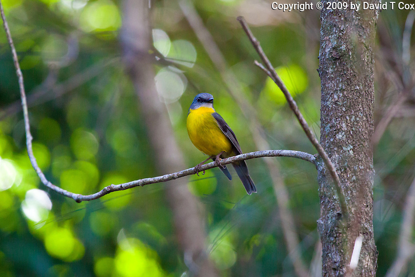 Eastern Yellow Robin, Kooloobung Crk Park, Port Macquarie, NSW, Australia