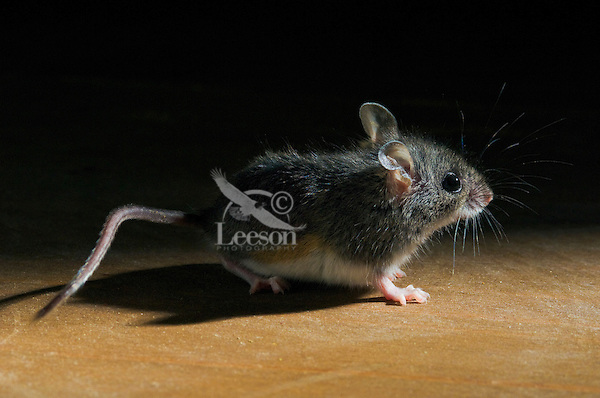 Deer Mouse ((Peromyscus maniculatus).  The deer mouse is the only native mouse that regularly enters houses and sheds.  The deer mouse is almost completely widespread throughout North America. It can be found from Mexico to Northern Canada.