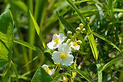 Arrowhead- Sagittaria latifolia-in a New England swamp during the summer months. This plant is part of the Water Plantain Family.Found in shallow water, low streams, shorelines of lakes and ponds, marshes, and ditches.