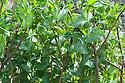 Mangetout 'Oregon Sugar Pod', mid June. Hazel pea sticks provide support as the plants begin to climb.