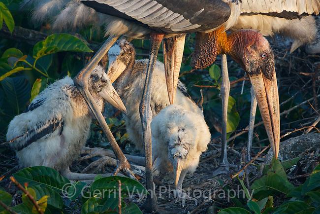 Greater Adjutant nest. Dadara, Assam, India. December.