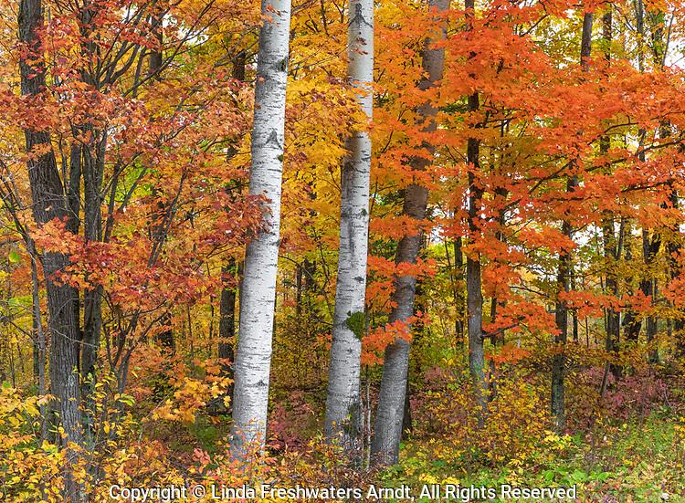 Autumn woodland in northern Wisconsin.