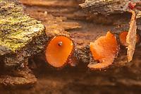 Eyelash Cup (Scutellinia sp.) fungus growing on decaying wood.