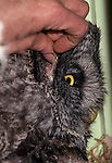 Ear of Great Gray Owl Strix nebulosa (located behind eye).<br />