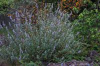 Salvia leucophylla, Purple sage, native perennial flowering in Regional Parks Botanic Garden, Berkeley, California