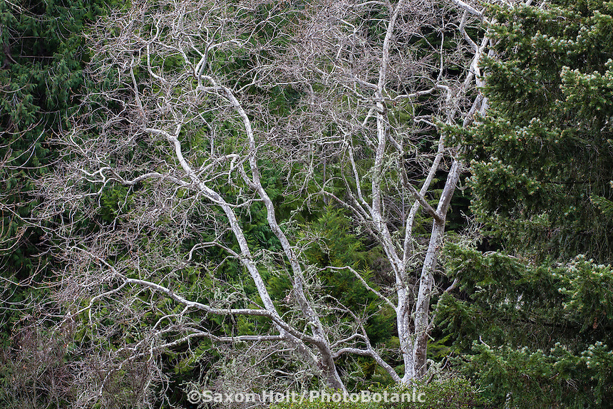 Deciduous tree in winter, California sycamore (Platanus racemosa) with white branches, pale bark