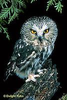 OW02-046a  Saw-whet owl - sitting on branch - Aegolius acadicus